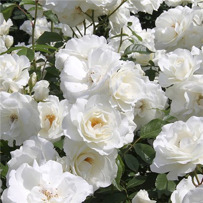 Rose Pascali Bare Root (White)
