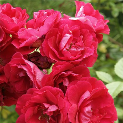 Rose Scarlet Queen Elizabeth Bare Root (Red)