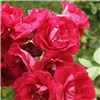 Rose Scarlet Queen Elizabeth Bare Root (Red) No Colour