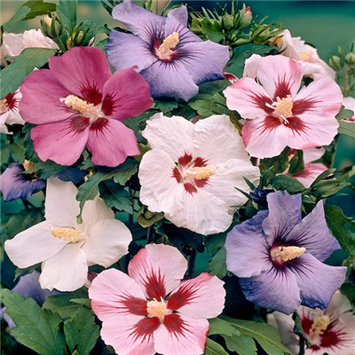 Hardy Hibiscus Mixed Bare Root Trees (5 Pack)