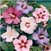 Hardy Hibiscus mixed x 5 Bare Root Trees