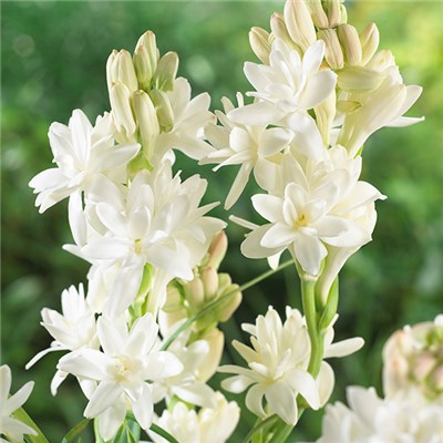 Polianthes Tuberosa (Tuberrose) Bulbs (10 Pack)