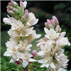 Polianthes Tuberosa (Tuberrose) x 10 bulbs