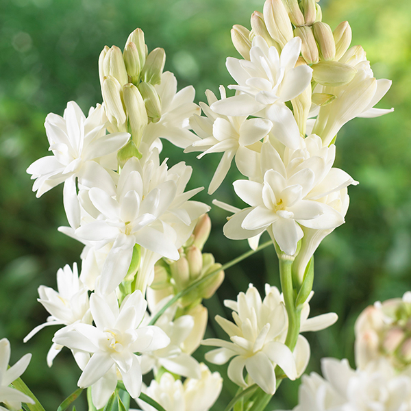 Polianthes Tuberosa (Tuberrose) Bulbs (10 Pack) No Colour