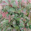 Photinia Pink Marble - set of 3 evergreen shrubs in 14cm pots