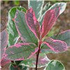 Photinia Pink Marble - set of 3 evergreen shrubs in 14cm pots No Colour