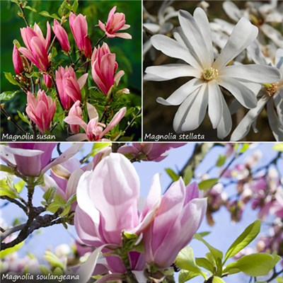Hardy Magnolia Collection 3L Plants (3 Pack)