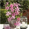 Raymond Evison Boulevard Patio Clematis collection - 3 x 7cm Pots
