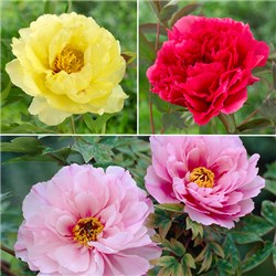 Japanese Tree Paeony Collection 3 x 1L Pots