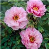 Japanese Tree Peony Collection 3 x Bare Roots