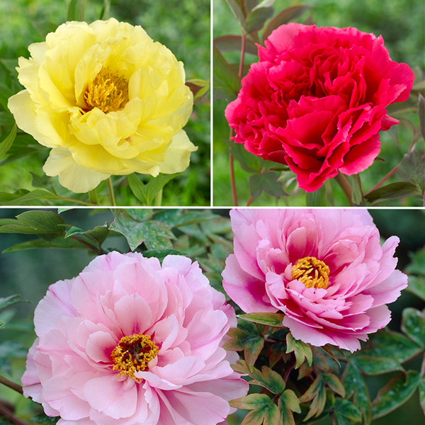 Japanese Tree Peony Collection 3 x Bare Roots No Colour