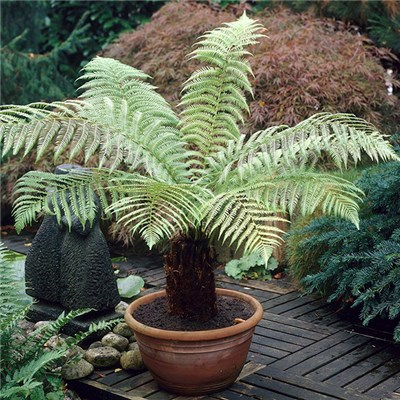 Dicksonia Antartica Tree Fern - 20cm Potter Log