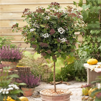 Winter 'Viburnum Tinus' Standard 90cm Tall