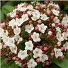 Winter Viburnum tinus standard in flower 90cm tall