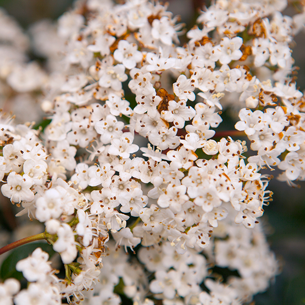 Winter Viburnum tinus standard in flower 90cm tall No Colour