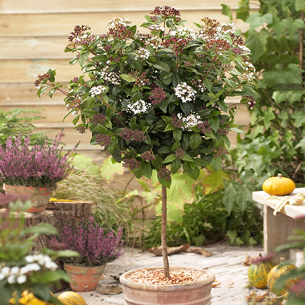 Winter 'Viburnum Tinus' Standard 90cm Tall No Colour
