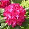 Rhododendron Germania 10L 5 years old