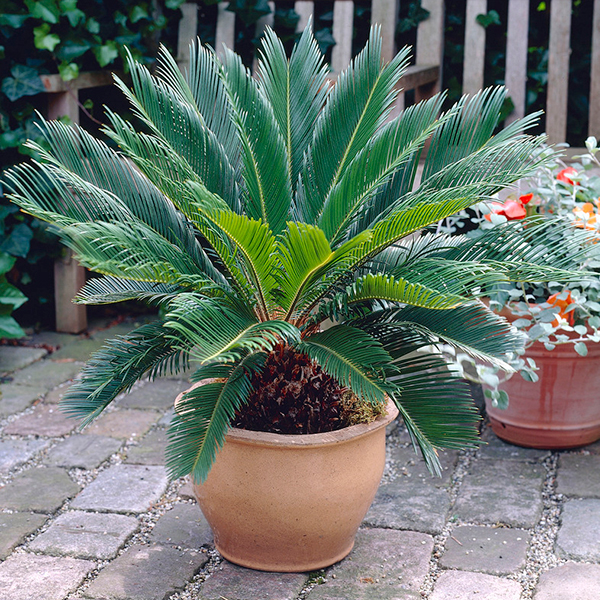 Cycas Revoluta -14cm No Colour