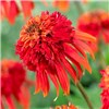 Hardy Echinacea Collection x 6 bright colours garden ready