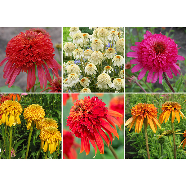 Hardy Echinacea Collection x 6 bright colours garden ready No Colour