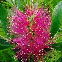 Callistemon (Bottlebrush Plant) Hot Pink - 5L Pot