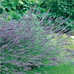 English Lavender Grosso x 12 Plants