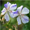 Hardy Geranium Splish Splash 3 x 9cm