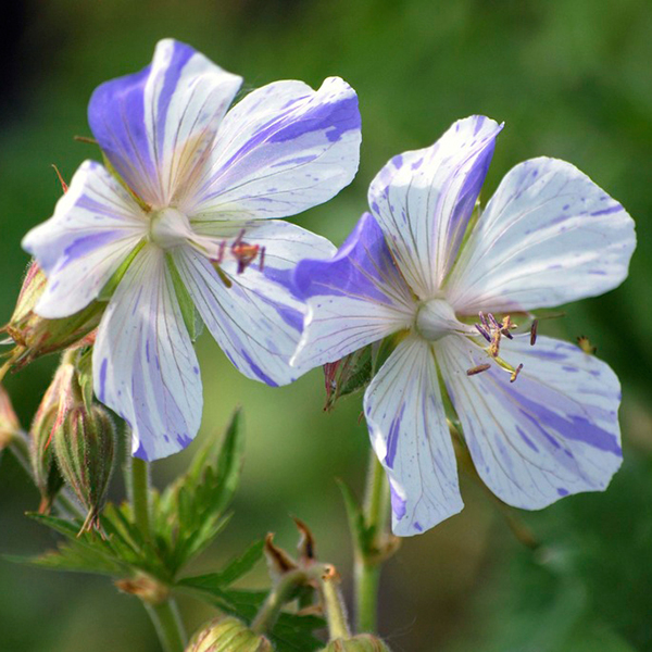 Hardy Geranium Splish Splash 3 x 9cm No Colour