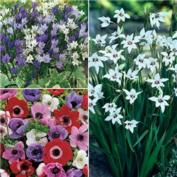 150 Summer Flowering Bulbs - 50 Anemone, 50 Brodaea, 50 Acidanthera