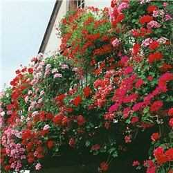 Trailing Balcony Geraniums - 24 Plants