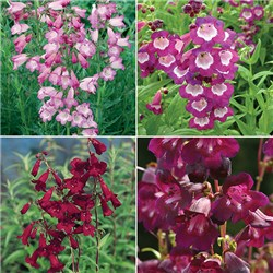 Hardy Summer Colour Penstemon Collection