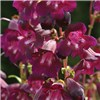Hardy Summer Colour Penstemon Collection - 12 Plants