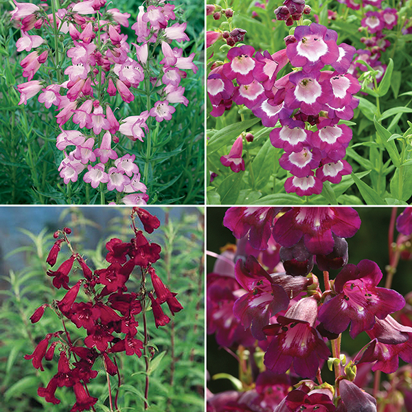 Hardy Summer Colour Penstemon Collection No Colour