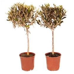 Pair of Mini Olive Standards 60cm