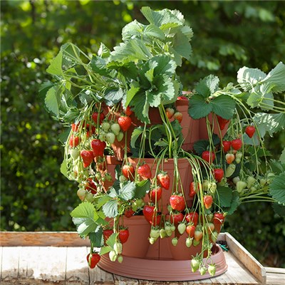 Set of 4 Strawberry Grow In Pods with 4 Buddy Trayplants