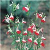 Hardy Salvia Hot Lips (3 x 9cm)