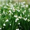 Hardy Lily of the Valley plants (3 x 9cm)