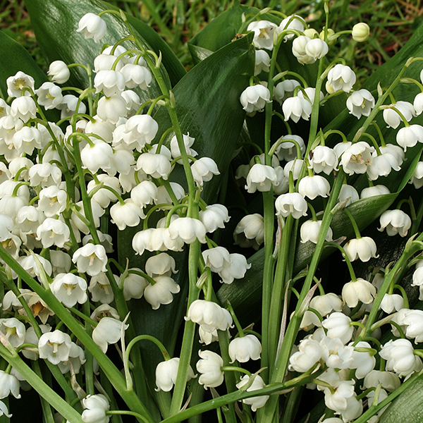 Hardy Lily of the Valley Plants 9cm (3 Pack) No Colour