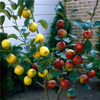 Duo Fruit Tree - Apple