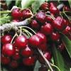 Duo Fruit Tree - Cherry
