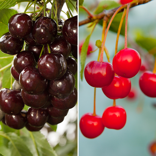 Duo Fruit Tree - Cherry No Colour