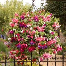Jumbo Flowered Trailing Fuchsia x 24 pack