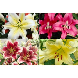 15 Skyscraper Lilies with 5 Dinnerplate Lily Big Brother Bulbs