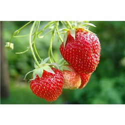 Strawberry Honeoye Runners - Pack of 20