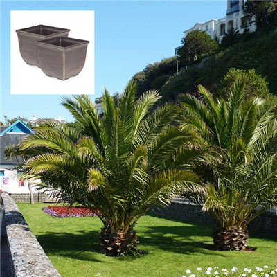 Pair of Phoenix Palms 70-80cm with 27cm (11in) Tulipa Gold Effect Planters