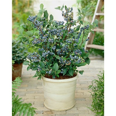Blueberry Bonanza - 3 Blueberry Plants with 3 x 17cm (6.5in) Planters and 50g Sachet of Finest Fertiliser