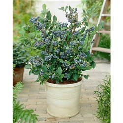 Blueberry Bonanza - 3 Blueberry Plants with 3 x 17cm Planters and 50g Fert