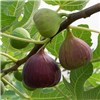 Hardy Fig Brown Turkey plant 2L pot