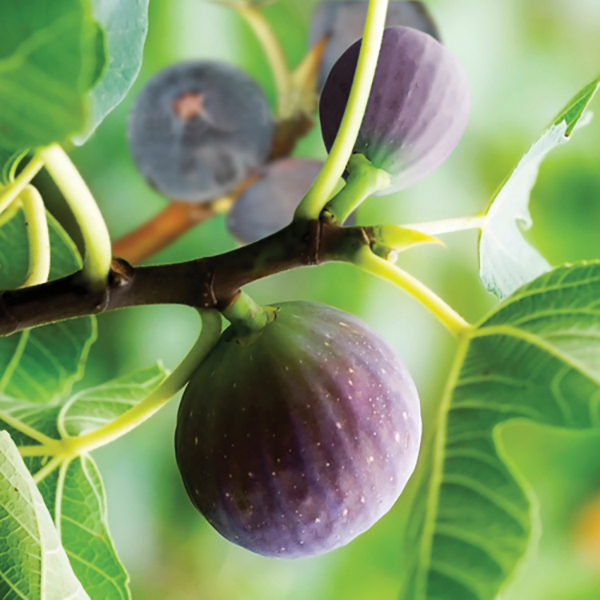 Hardy Fig 'Brown Turkey' Plant 2L Pot No Colour