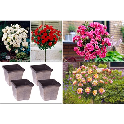Patio Standard Rose Collection plus 4 Hand Finished Brushed Metallic Pots